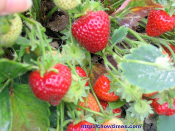 U_Pick_Strawberries-7