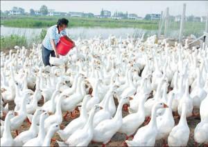 Duck-Farm-300x213
