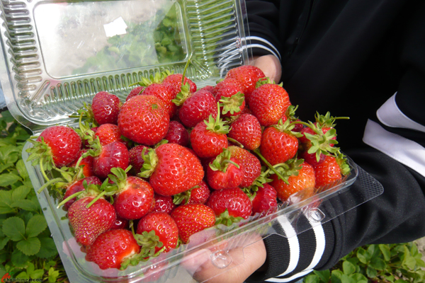 U-Pick-Strawberries-Bob-Featherstone-Farm-2012-2