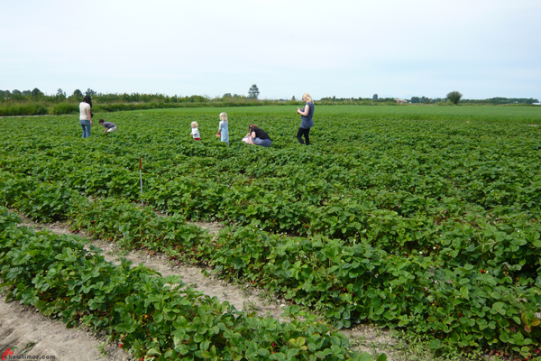 U-Pick-Strawberries-Bob-Featherstone-Farm-2012-4