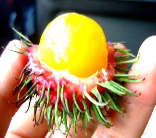 Wild Rambutan