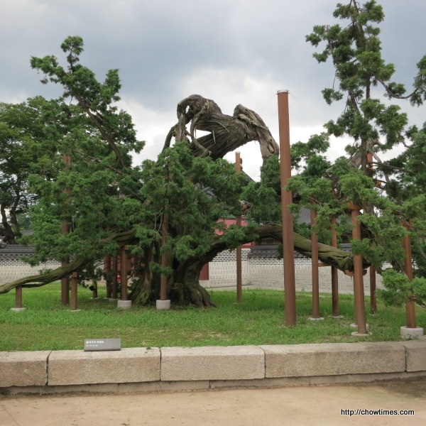 750 years old juniper